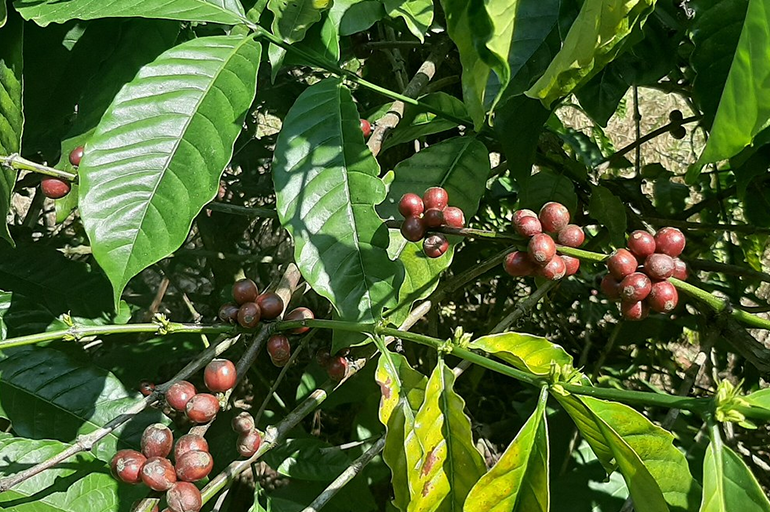 What is Robusta