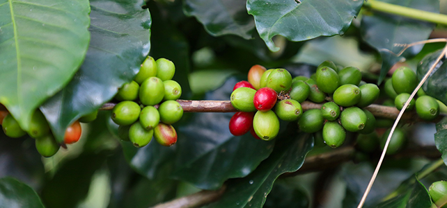 Everything You Need To Know About Green Coffee Beans